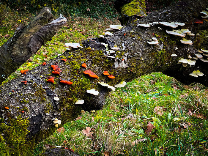 High angle view of mushrooms growing on field