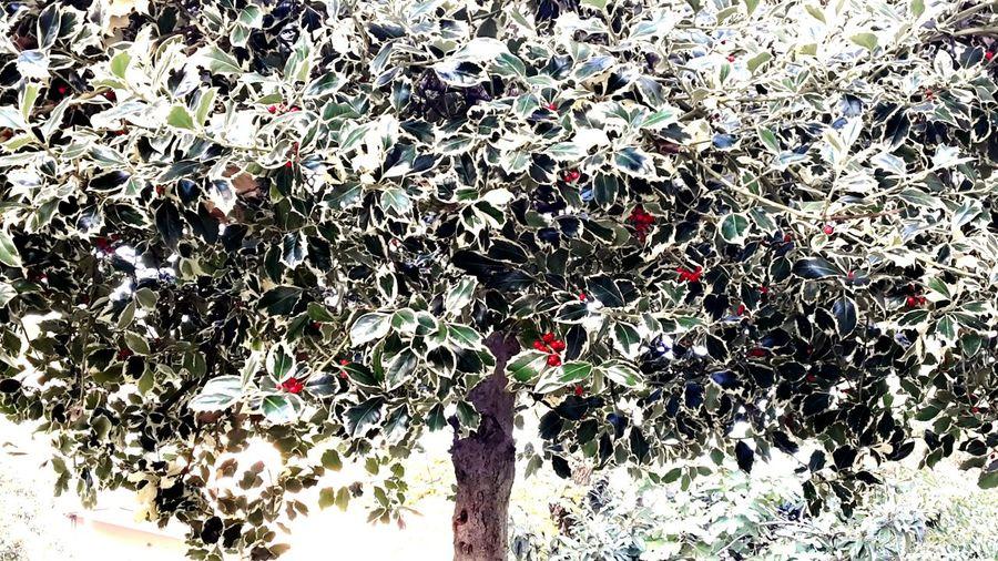 Mistletoe Tree Red Colors Of Autumn