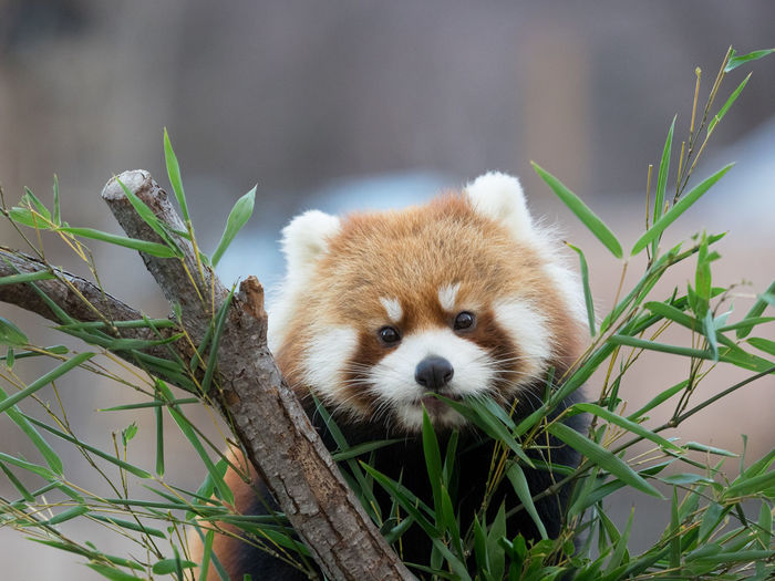 Red panda behind plants
