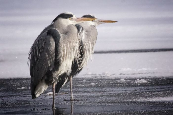 Grey heron 7/8 Heron Grey Heron  Showcase February 2018 Niklas Februari 2018 Animal Wildlife Animals In The Wild Sea Beach Bird Water Animal One Animal No People Nature Animal Themes Outdoors Day