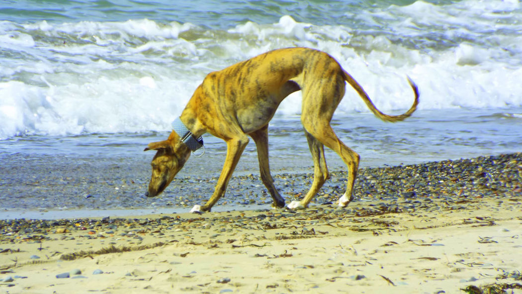 Animal Themes Beach Dog Domestic Animals Full Length Greyhound GreyHound Love Greyhoundrescue Mammal One Animal Sand Sea Shore Water