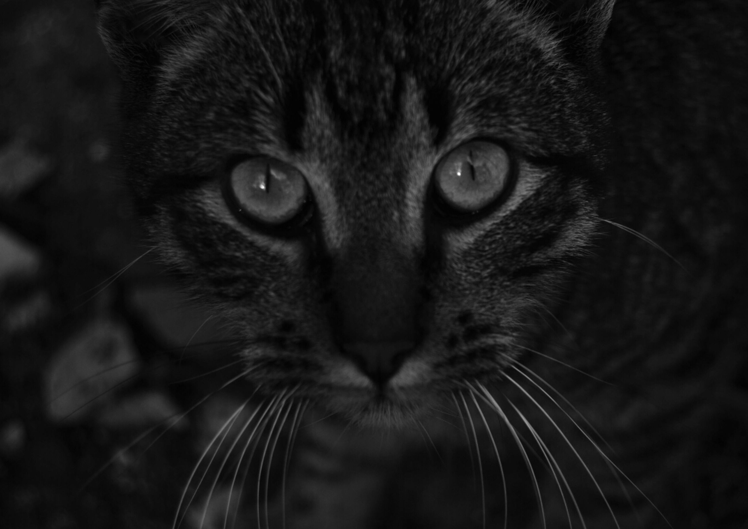 animal themes, pets, one animal, domestic cat, domestic animals, cat, looking at camera, portrait, mammal, whisker, feline, close-up, animal head, animal eye, indoors, focus on foreground, staring, alertness, black color, front view