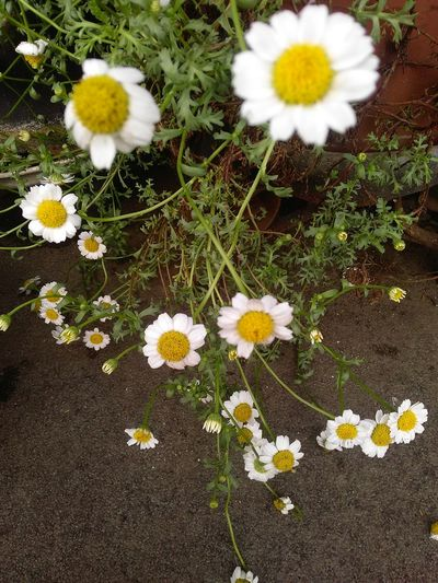my garden 🌿 Camomilla 🌿 Flower Summer Uncultivated Flower Head Blooming Delicate Flora