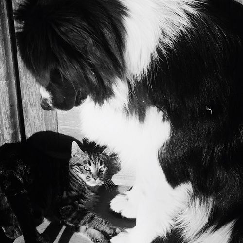 Frenemies Pets Dog Cat Border Collie Hate And Love EyeEm Blackandwhite No People