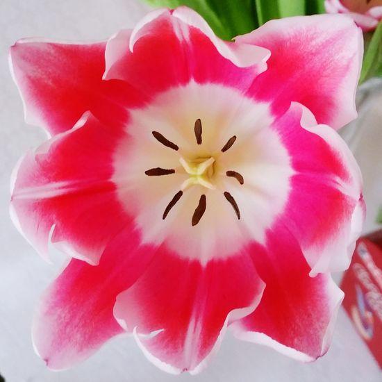 Tulip Flowerporn Flowers