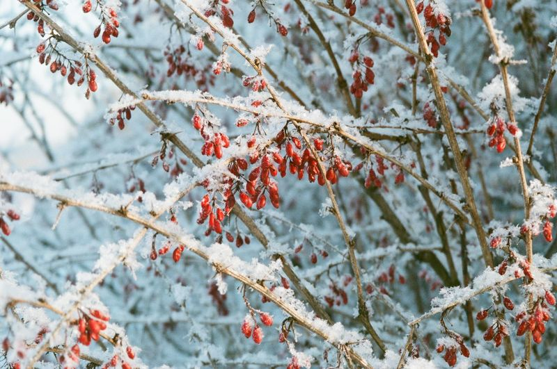 Berries Snow 35mm 35mm Film Plant Tree Branch Winter Cold Temperature Nature No People Beauty In Nature Frozen Day White Color Close-up Outdoors Red
