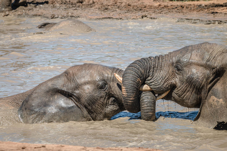 Side view of elephant in water