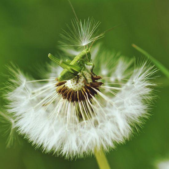 The Essence Of Summer кузнечик макросъемка одуванчик насекомые насекомое EyeEmNewHere
