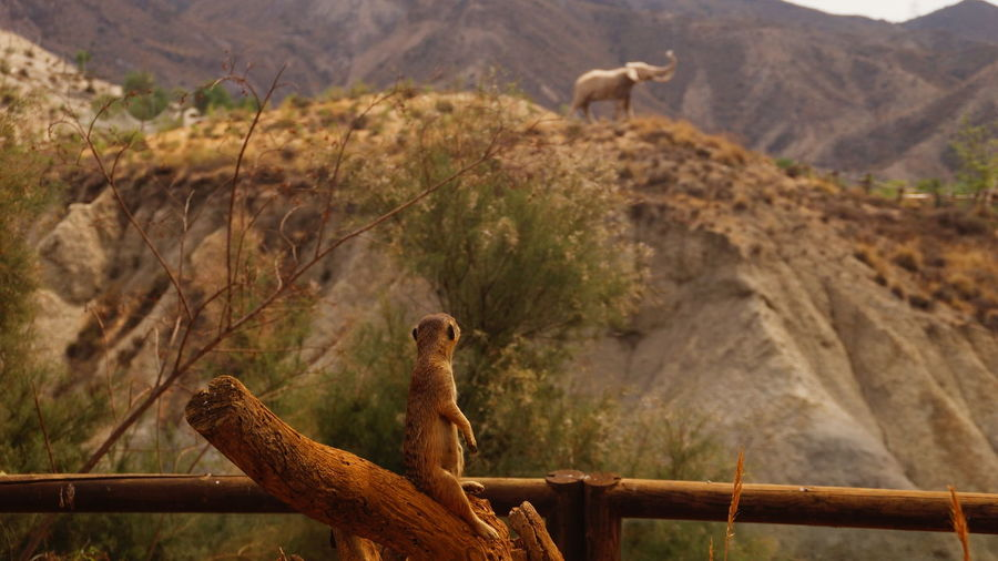 Rear View Of Meerkat Looking At Elephant On Mountain
