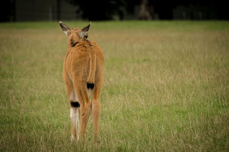 Portrait of lion standing on field