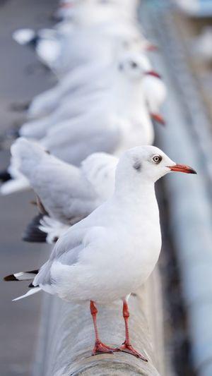 Seagull perching
