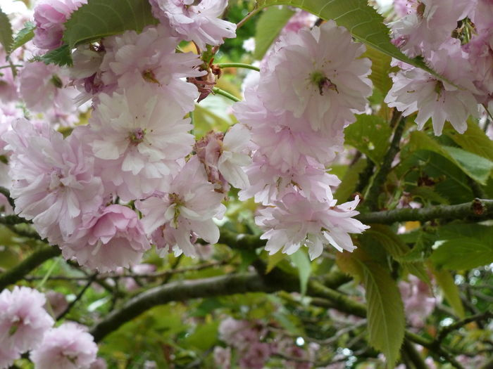 Cherry Blossom... Flower Blossom Beauty In Nature Fragility Pink Color Springtime Close-up