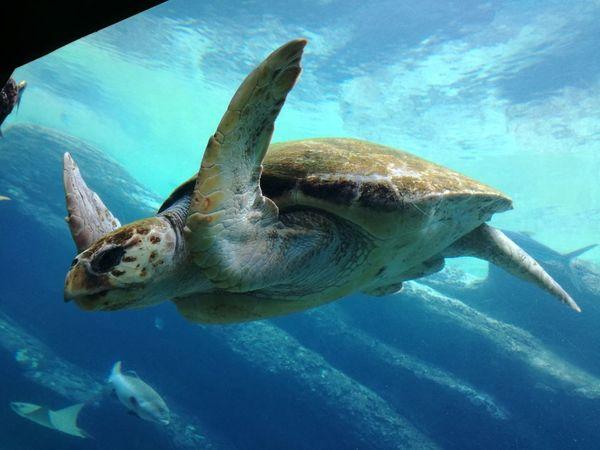 #Blue #bluewater #eyembestshot #marine #Nature  #ocean #seaside #Seaturtle #turtle #UNDERWATER Animal Themes Aquarium