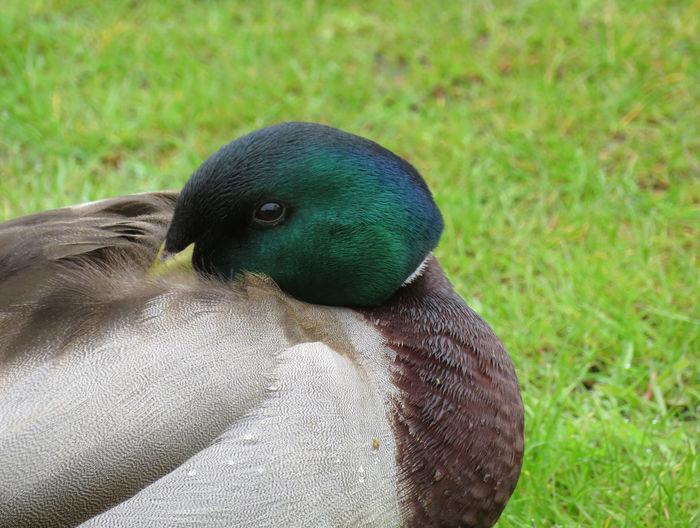 Bird Close-up Grass Green Color Mallard Duck Duck Male Animal