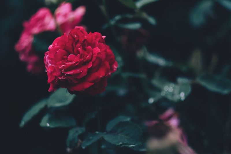 Flower Petal Fragility Rose - Flower Flower Head Nature Beauty In Nature Growth Freshness Plant Blooming Close-up Red No People Focus On Foreground Outdoors Water Day The Week On EyeEm Fujifilm_xseries