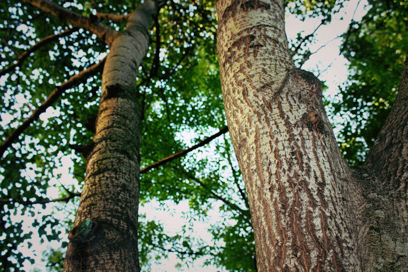 Low angle view of tree trunks in forest