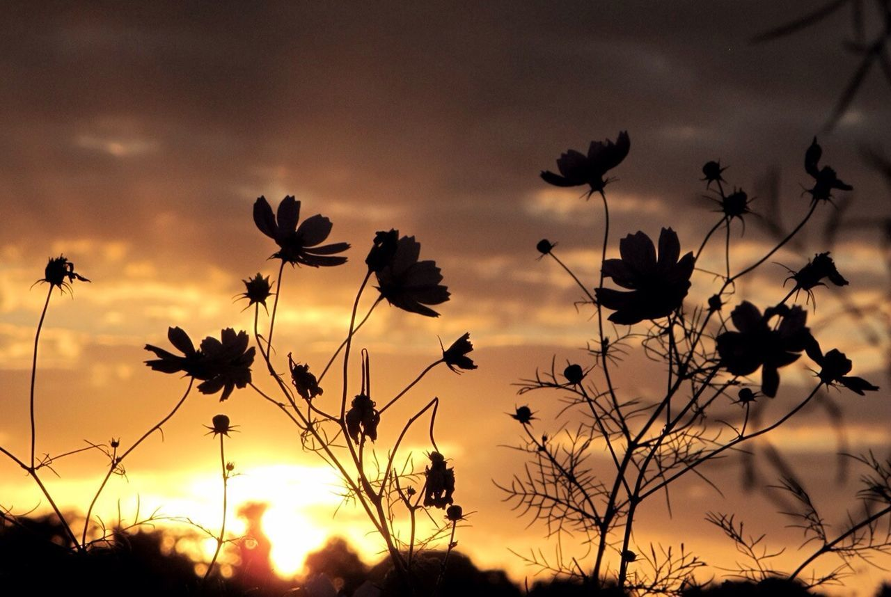 flower, nature, growth, sunset, plant, beauty in nature, sky, petal, silhouette, no people, outdoors, cloud - sky, flower head, fragility, tranquility, freshness, blooming, day, close-up