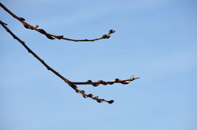 Low angle view of birds on branch against clear blue sky