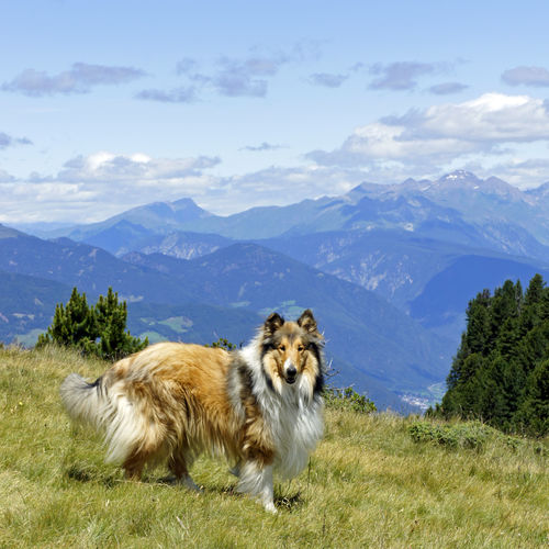 Dolomites, Italy Haustier Hund Mountain View Southtyrol  Südtirol Animal Themes Beauty In Nature Collie Day Dog Dolomiten Dolomites South Tyrol Südtirol Landscape Mammal Mountain Mountain Range Nature No People One Animal Outdoors Scenics Sky Sudtirolo Summer