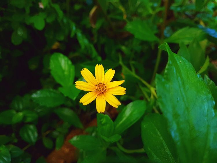 Pretty yellow flower <3 Beauty In Nature Blooming Close-up Day Flower Flower Head Fragility Freshness Green Color Growth Leaf Nature No People Outdoors Petal Plant Shekelsphotography Yellow Paint The Town Yellow