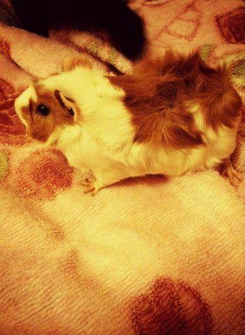 Happy Mascota Cuyo's Time Moments Relaxing Magic *cuyo*