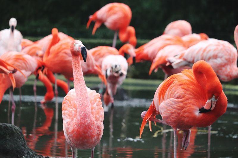 Flock of flamingo in lake