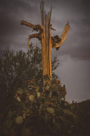 Skeleton Cactus