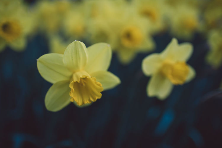 Narcissus Flowering Plant Flower Fragility Vulnerability  Yellow Beauty In Nature Petal Freshness Close-up Growth Inflorescence Flower Head Plant No People Nature Focus On Foreground Daffodil Day Selective Focus Outdoors Pollen Spring