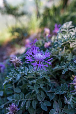 Beauty In Nature Close-up Day Flower Flower Head Flowering Plant Focus On Foreground Fragility Freshness Growth Inflorescence Leaf Nature No People Petal Plant Plant Part Purple Selective Focus Vulnerability