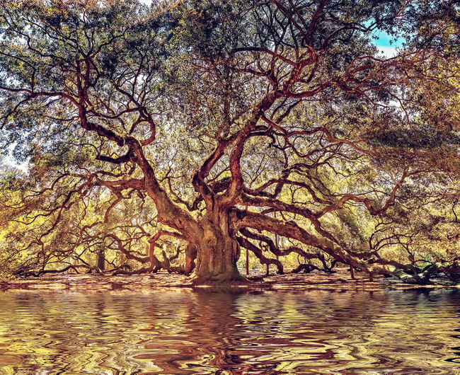 1000 year old oak tree Angel Oak Tree Oak Tree My Best Photo 1000 Years Old Ramified Widely Branched South Carolina Tree Water Tranquility Plant Waterfront Beauty In Nature Lake Nature No People Tranquil Scene Branch Reflection Scenics - Nature Day Outdoors Sky Growth Non-urban Scene