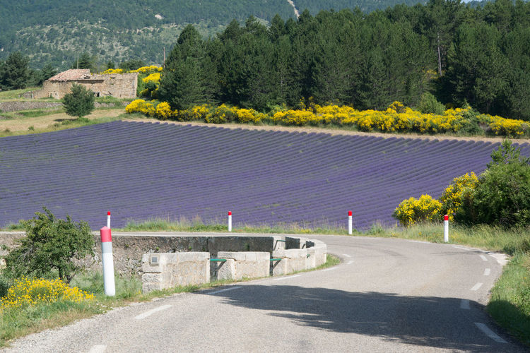 Empty road by lavender field