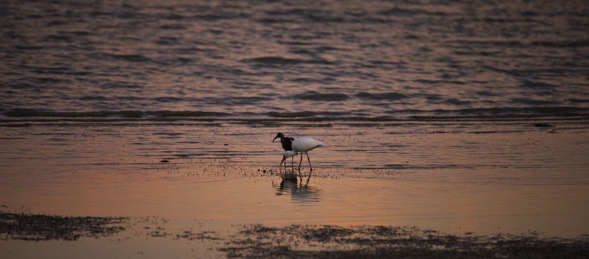 View of water birds on beach at sunset.