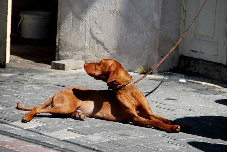 Telaviv Dog