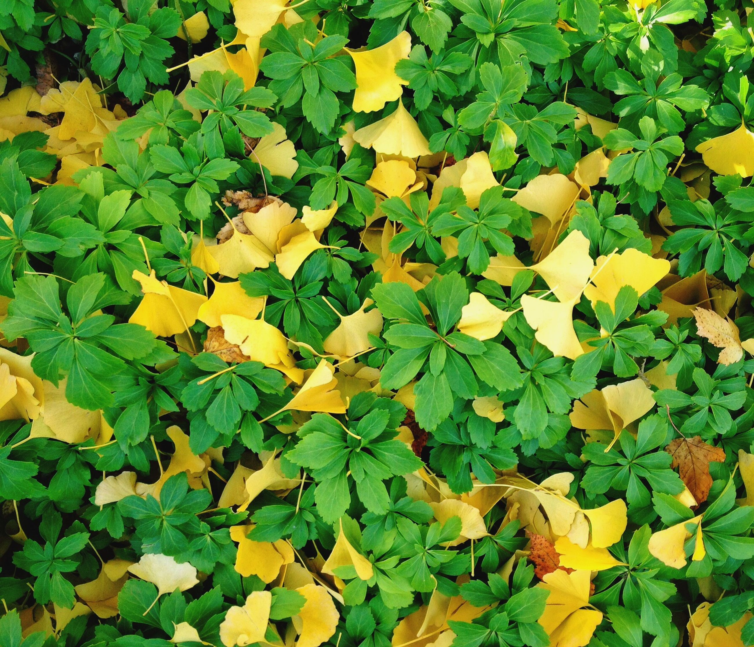 leaf, yellow, high angle view, growth, green color, autumn, season, full frame, nature, beauty in nature, change, leaves, backgrounds, abundance, field, plant, flower, fragility, freshness, tranquility