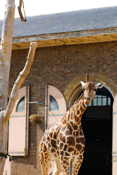 Inspecting The Humans Animal Animal Markings Animal Themes Building Built Structure Giraffe Herbivorous London Zoo One Animal Outdoors Sunlight
