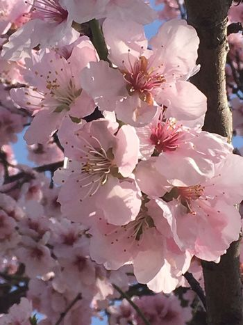 Plant Sky Outdoors No People Nature Growth Close-up Beauty In Nature Twig Tree Sunlight Springtime Pink Color Blossom Millennial Pink