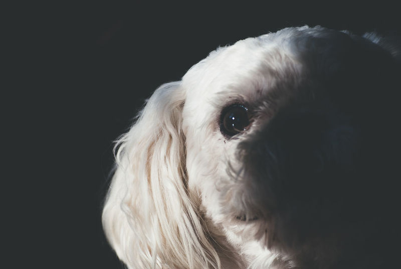 Animal Black Background Close-up Dog Photo Dog Photographer Dog Portrait Dog Portraiture Dog Shadow Dogs Dramatic Lighting No People Pet Photography  Pet Portrait Pet Portraits Pet Portraiture No Person No People, Indoors
