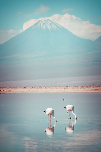 Flamingoes Foraging In Lake