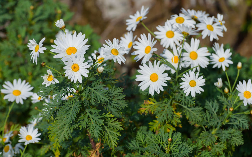 Uttarakhand Diaries Flower Flowering Plant Plant Freshness Vulnerability  Fragility Beauty In Nature Growth Petal Flower Head Close-up Inflorescence Nature Daisy No People Green Color Day Outdoors Plant Part Leaf Pollen Uttarakhand Nainital Nainitaldiaries