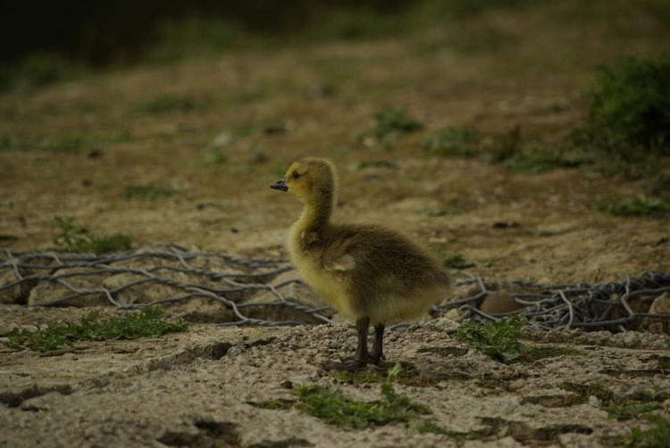 Animal Wildlife Animals In The Wild Animal Themes Animal Young Bird Vertebrate Bird Young Animal No People One Animal Gosling Land Selective Focus Goose Nature Field Day Outdoors Full Length
