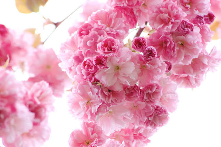Pink Color Flower Flowering Plant Freshness Plant Beauty In Nature Fragility Close-up Vulnerability  Petal Growth Blossom No People Nature Springtime Flower Head Cherry Blossom Outdoors Bunch Of Flowers Day