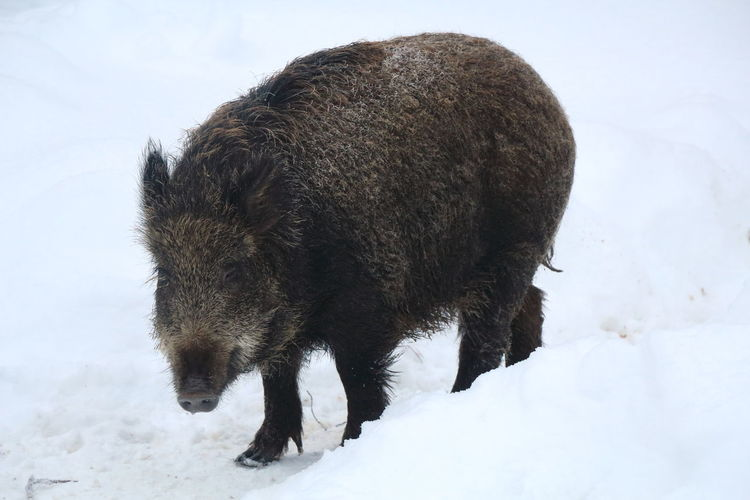 Wild boar on snow field during winter