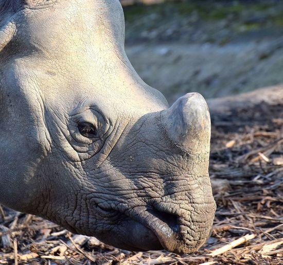Rhinoceroses Rhinoceros Rhinoceros Prilaga Beautifull Strong Rhinoceros5 Rhinocerossuccess Animal Protection