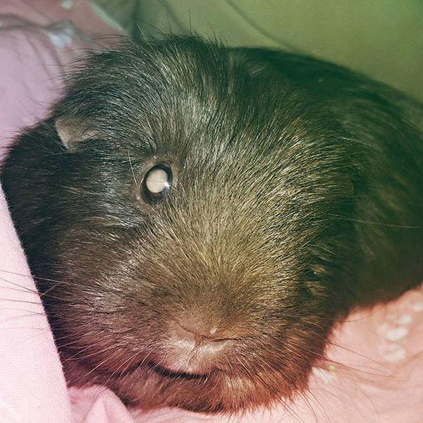 Guineapig Guineapigs Mara Nonselfie Animal Pet Pets Home Love Throwback Instagood Instadaily Instagram Insta Fun Blind Awesome VSCO Vscocam Finnish  Scandinavian Europe