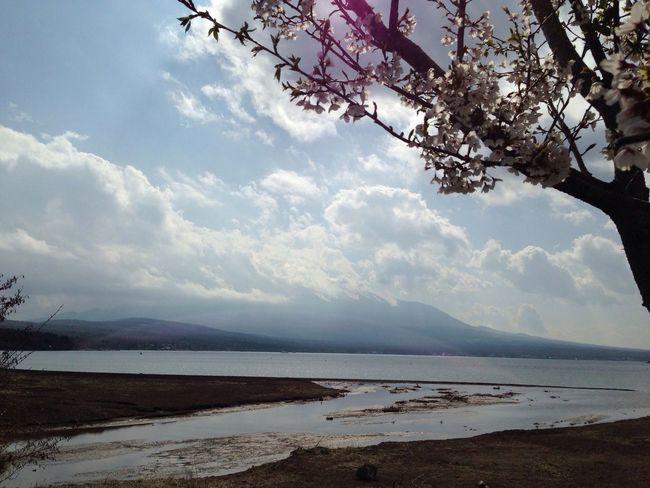 山梨 山中湖 富士山 桜