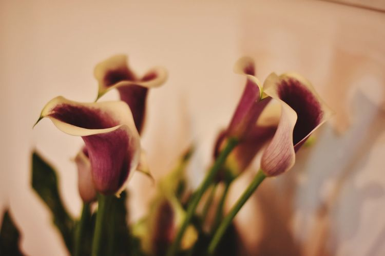 Flower Nature Fragility Plant Petal Close-up Growth Freshness Flower Head Beauty In Nature Blossom Pink Color No People Springtime Outdoors Day Exceptional Photographs Eyeem Market Malephotographerofthemonth The Flowers Series Calla