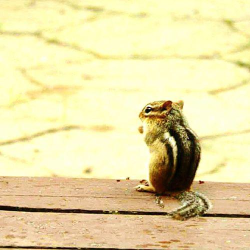 Chipmunk Taking Photos Enjoying Life Animals Cottage Life Eye4photography  Summertime The Great Outdoors