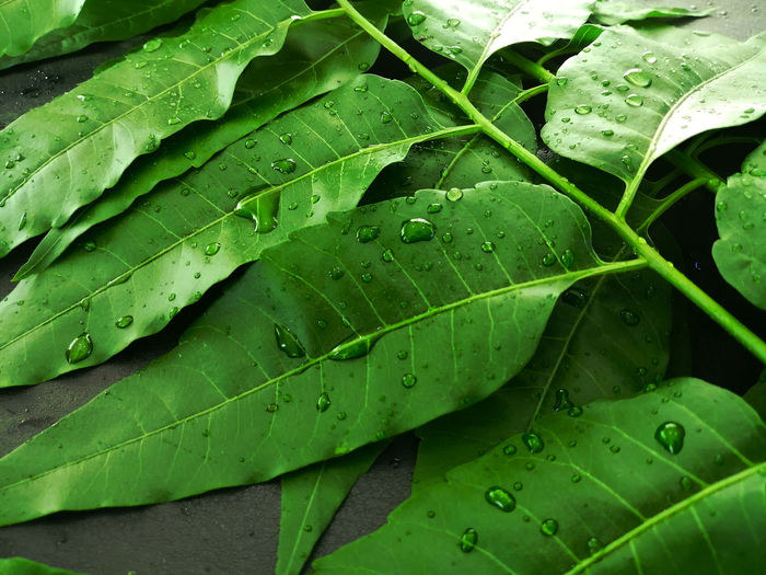 Green neem leaves with rain droplets on black background. neem leaves is a medicinal herb.