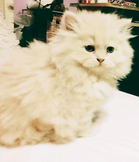 Pets Corner Honey MyKitten😻😻😻🐾 Persiancat Persianmyperfectcat Lovehim Am I cute?