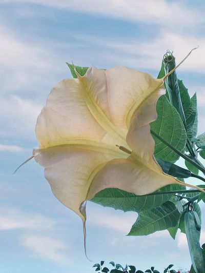 Datura Beauty In Nature Flower